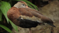 Black Bellied Whistling Duck - stock footage