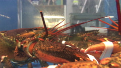 Grocery store lobsters having a battle in their aquarium 4k Stock Footage