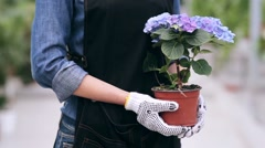Close up of gardener holding pot with hydrangea - stock footage