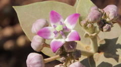 Calotropis gigantea (Crown flower) Stock Footage