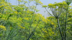 Plant fennel in a Sunny day Stock Footage