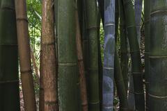 Giant bamboo Dendrocalamus giganteus bamboo grove in the botanical garden Stock Photos