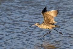 Marbled Godwit Limosa fedoa taking off in shallow water Galveston Texas USA - stock photo