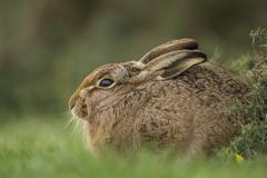 European Hare or Brown Hare Lepus europaeus on a meadow Suffolk United Kingdom Stock Photos