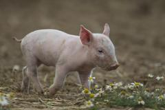 Domestic Pig Sus scrofa domesticus piglet in a field Suffolk United Kingdom - stock photo