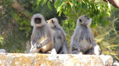 Monkeys the langurs in the Indian city Stock Footage