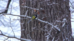 Birds Tits in winter forest Stock Footage