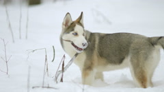 Dog play with branch in a snowy forest. Real time capture Stock Footage