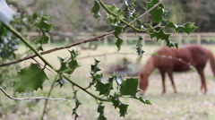 Brown Horse Eating Grass In Field Holly Bush In Foreground Hand Held Stock Footage