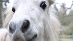 Close Up White Pony Looking Over Fence & Eating Grass Hand Held Stock Footage