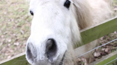 Close Up White Pony Looking Through Fence Stroking Head Hand Held Stock Footage