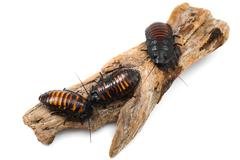 Madagascar hissin Cockroaches - stock photo