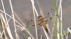 Stock Video Footage of Four-spot Chaser Dragonfly 01