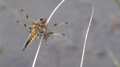 Stock Video Footage of Four-spot Chaser Dragonfly 02.
