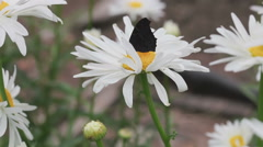 Butterfly on daisy flower Stock Footage