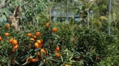 Mature woman smelling fruit on kumquat tree Stock Footage