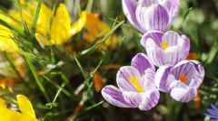 Lilac crocus grows in some grass Stock Footage
