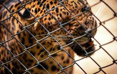 Fangs of wild cat. Strong leopard panther attacks cage in anger Stock Photos