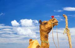 Camel portrait against blue sky in India, Rajasthan Kuvituskuvat