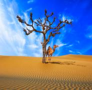 Surreal background of camel in desert standing near lonely dead tree Stock Photos