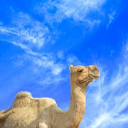 Beautiful camel and blue sky with clouds Stock Photos