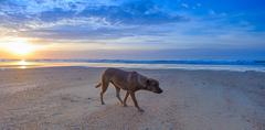 Dog walking on the beach. Ocean landscape background - stock photo