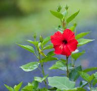 Hibiscus Flower Blossom - stock photo