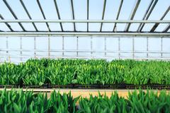 Stock Photo of Cultivation of tulips in greenhouse  perspective