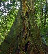 Giant tropical tree. Banyan trunk in jungle forest Stock Photos