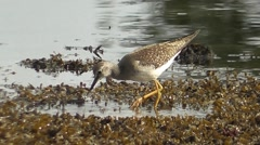 Lesser Yellowlegs 01. Stock Footage