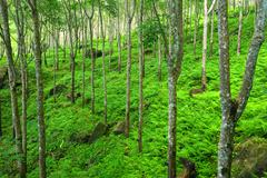 Trees green nature background. Latex rubber trees plantation in tropical fore - stock photo