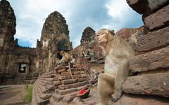 Long tailed macaque monkey in Thailand temple in Lopburi - stock photo