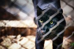 Eyes of black jaguar in captive Stock Photos