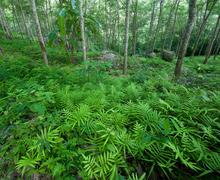 Fern leaves in forest floor in Latex rubber plantation in Thailand Stock Photos