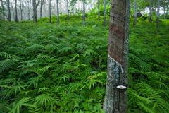 Latex rubber tree plantation in tropical forest in Asia Stock Photos
