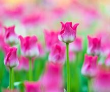 Spring flowers background. Beautiful tulips bloom shallow DOF nature image Stock Photos