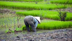 Local farmer works on rice field paddy in Vietnam Stock Photos