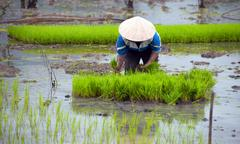 Outdoor photography of rice cultivation in Asia Stock Photos