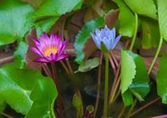 Tropical Flower Waterlily Background - stock photo