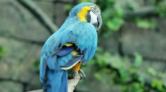 Blue and yellow macaw resting Stock Footage