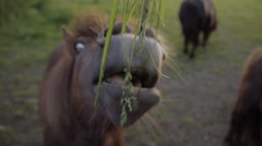 Shetland Pony Eating Grass From Adult Hand Stock Footage