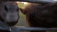 Shetland ponies grazing and relaxing at sunset in a buttercup field Stock Footage