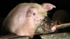 China, huanglou yao village, pigs in enclosure Stock Footage