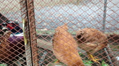 China, xingping, pheasants and chickens in coop Stock Footage