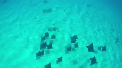 SLOW MOTION: Wild stingray rays swimming in crystal clear ocean Stock Footage