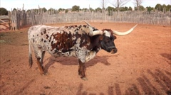 Texas Longhorn Steer at Pipe Spring National Monument - stock footage