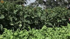 Farmer inspecting crops in field Stock Footage
