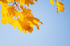 Beautiful yellow maple trees close-up - stock photo