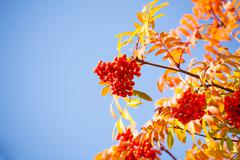 Rowan berries and leaves over blue sky Stock Photos