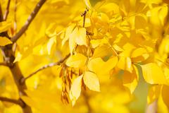 Close up of ash tree yellow leaves in autumn Stock Photos